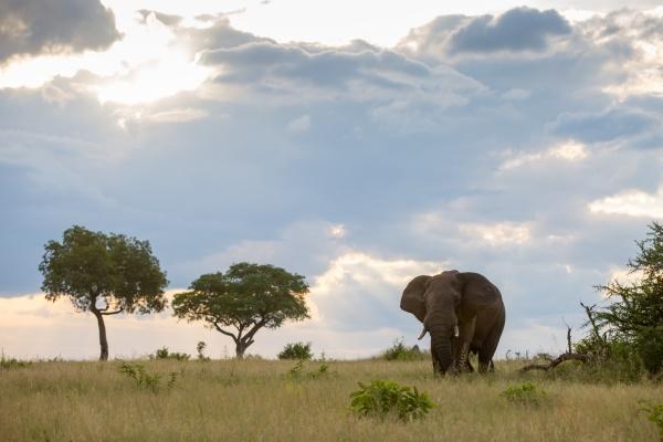 an elephant loxodonta africana walks through