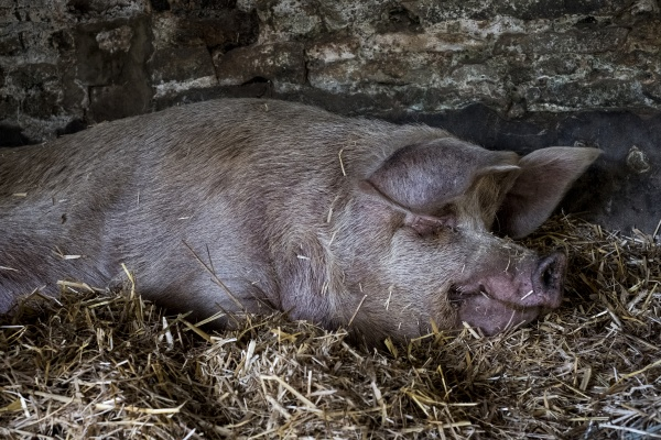 sow and her piglets lying on
