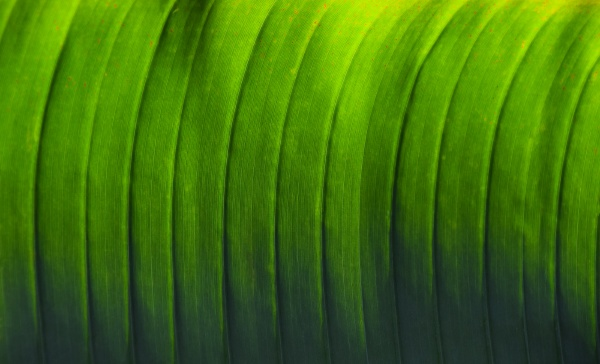 green palm leaf texture with veins