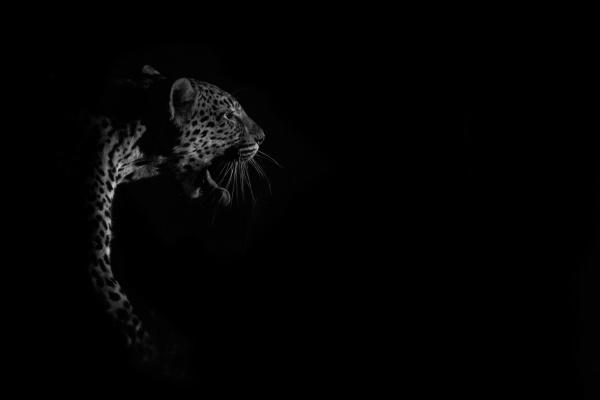 a, leopard, , panthera, pardus, , spotlit, at - 30681292