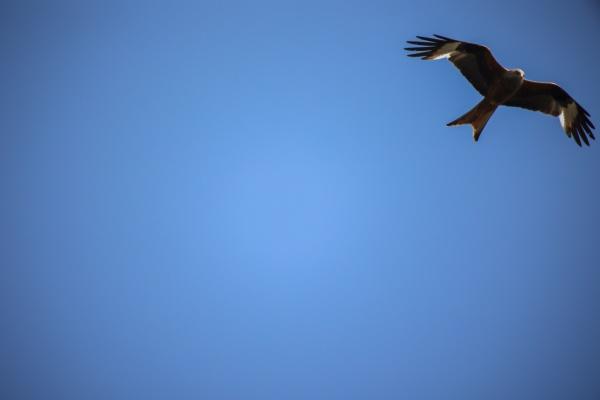 a kite a red kite