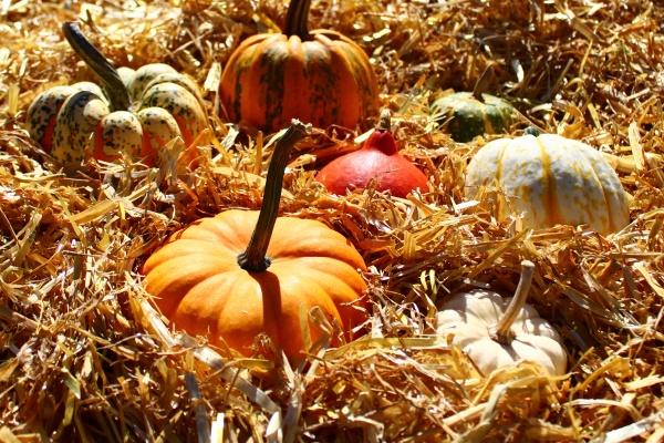 pumpkins on straw