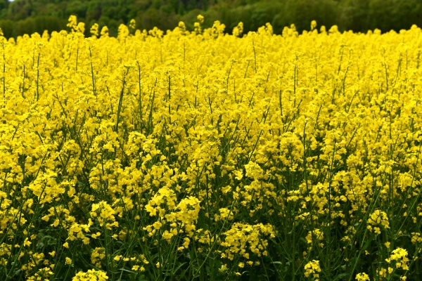 yellow flowering rapeseed field