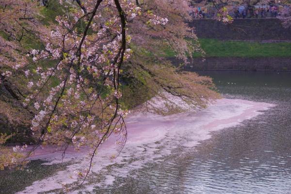 image of cherry blossoms of chidorigafuchi
