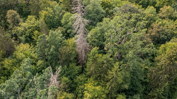 diagonall view of coniferous tree stand