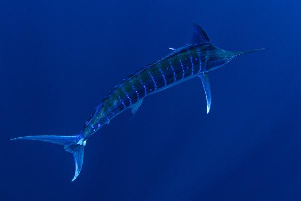 bahamas blue marlin swimming near
