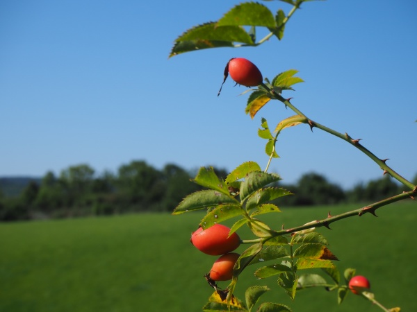 rosehip branch in front of meadow