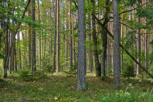 coniferous tree stand of bialowieza forest
