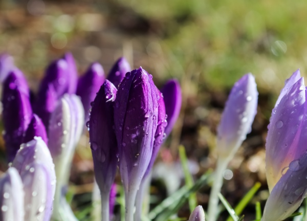 selective focus on purple crocus flowers