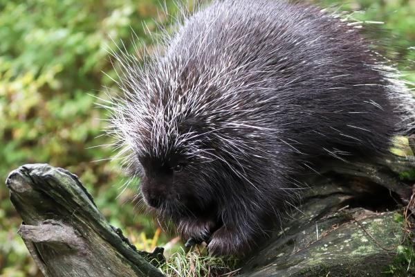 closeup of a porcupine on a