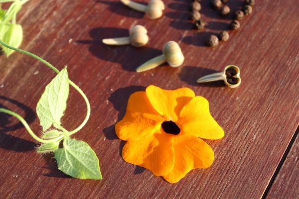 black eyed susan vine and seeds
