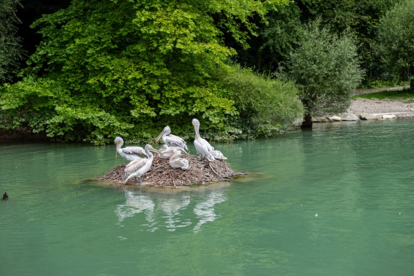 pelican colony sitting on the stone