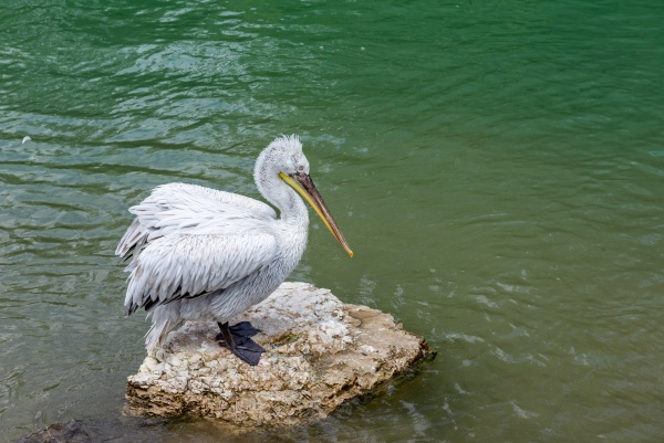 close up to pelican sitting on