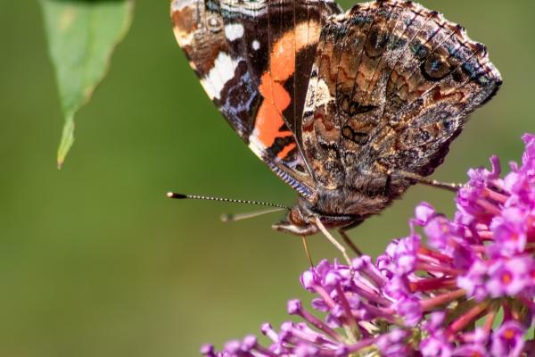 beautiful monarch butterfly in romantic backlight