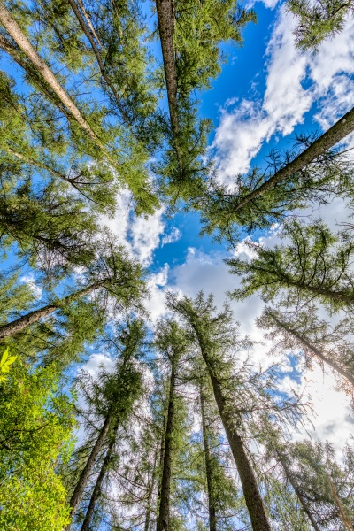 tall pine tree tops against blue