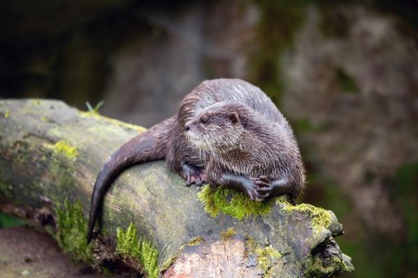 european otter rest on tree trunk