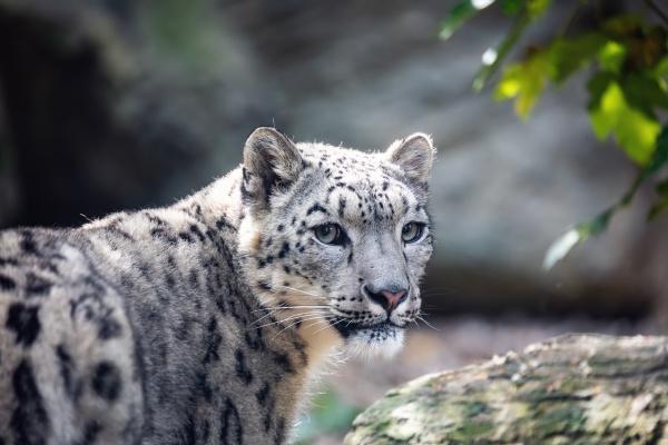 snow leopard irbis uncia uncia