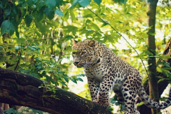 big cat persian leopard panthera pardus