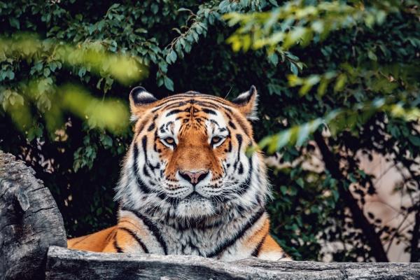resting siberian tiger panthera tigris altaica