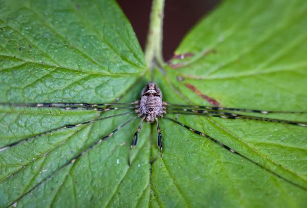 close up of a phalangiidae euponoi