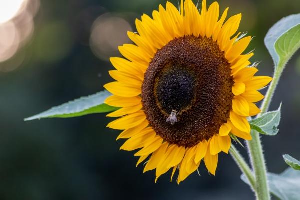 beautiful yellow sunflower showing its natural