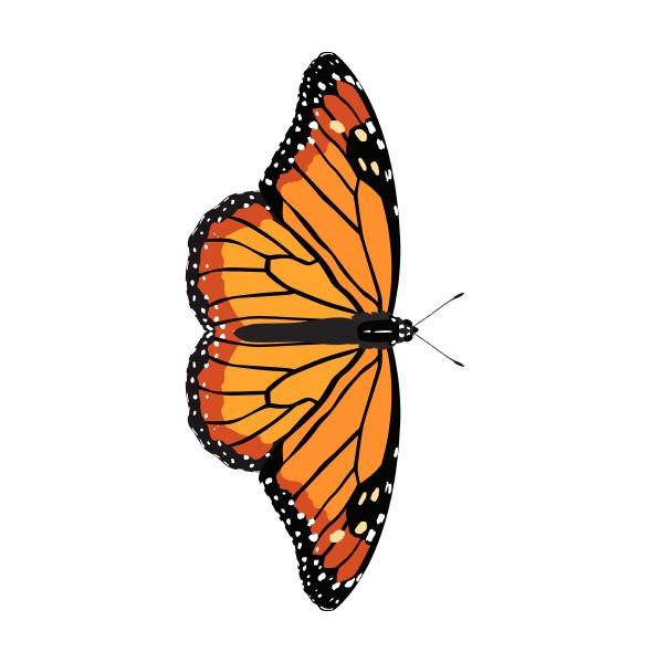 danaus erippus southern monarch