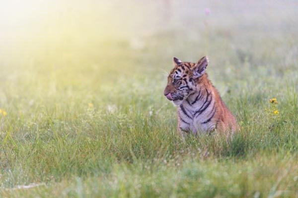 portrait of bengal tiger cub sitting