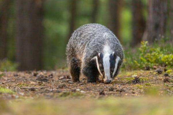 european badger is walking outdoors