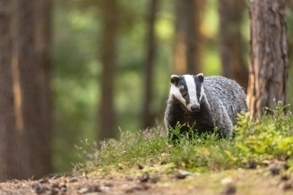 european badger is posing in the
