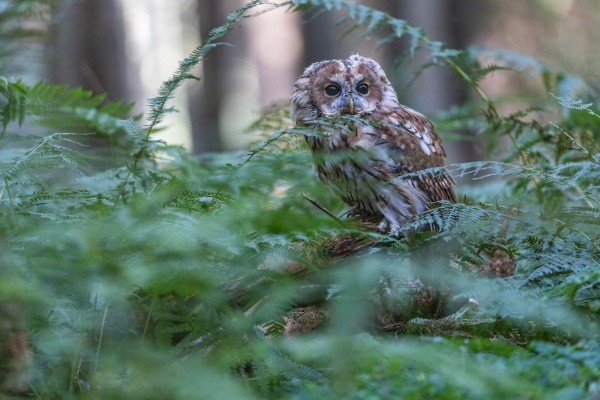 tawny owl is posing alone in