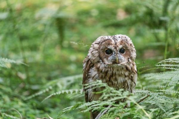 portrait of cute tawny owl closeup