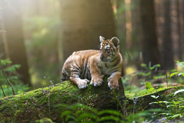 bengal tiger cub is posing on