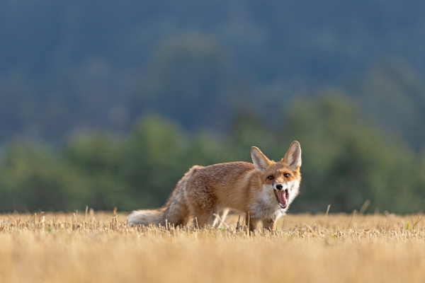 funny red fox is posing on