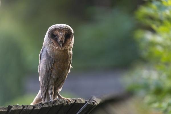 barn owl sitting on a wooden