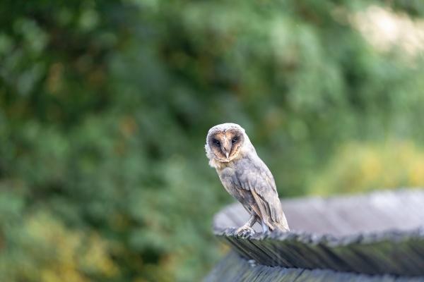 cute barn owl is sitting on
