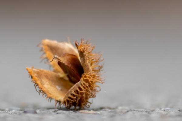 beech nut macro in fall and