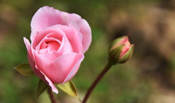close up of a beautiful pink