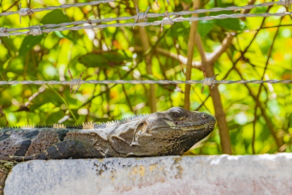 mexican iguana lies on wall under