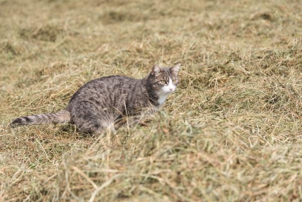 cat lurks for prey