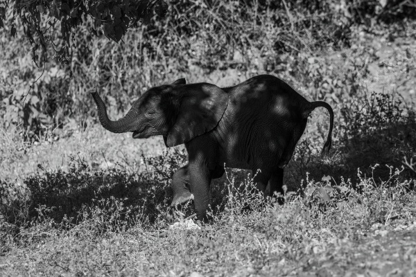 mono elephant appearing to dance down