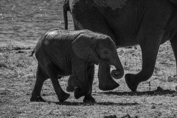 mono elephant walking with mother beside
