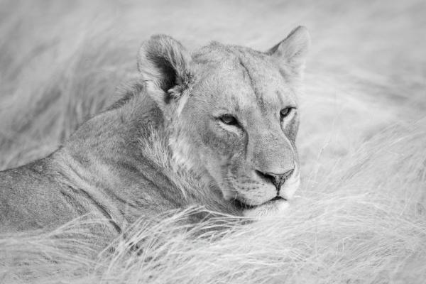mono close up of lioness lying