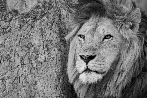 mono close up of male lion