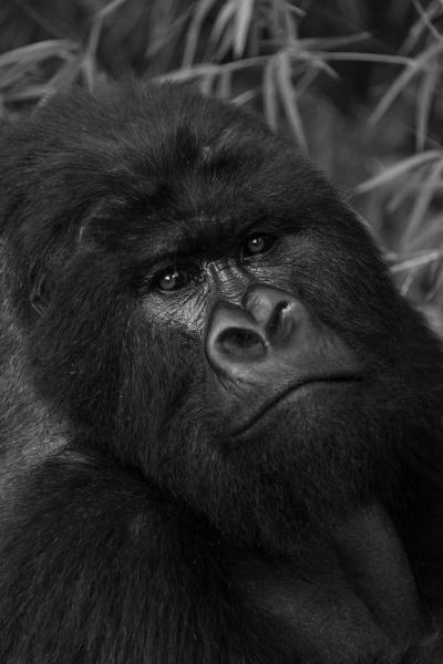 mono close up of silverback gorilla