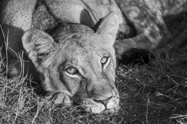 mono close up of sleepy lion