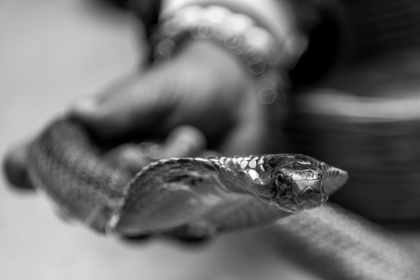 mono cobra held by indian snake