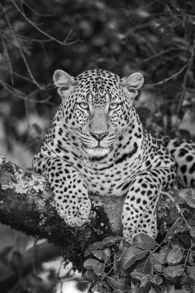 mono close up of leopard lying
