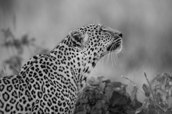 mono close up of leopard sitting