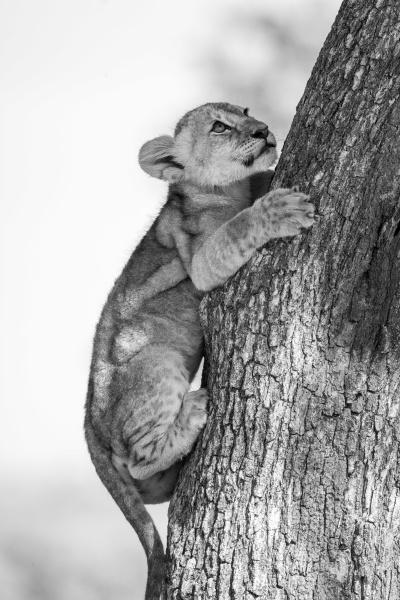 mono close up of lion cub
