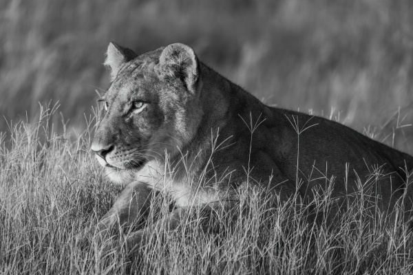 mono close up of lion in